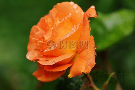 厂 一滴水 玫瑰绽放 自然 颜色 美丽 开花 花 印刷 风景 手机端:玫瑰