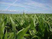 蓝天下的玉米地图片