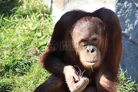 猩猩高清图片