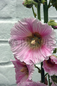 墙外的蜀葵花图片