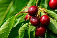 阳光下的红色樱桃图片