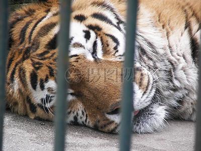 动物园里的老虎高清图片