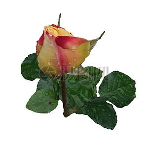 淋雨的玫瑰特写图片