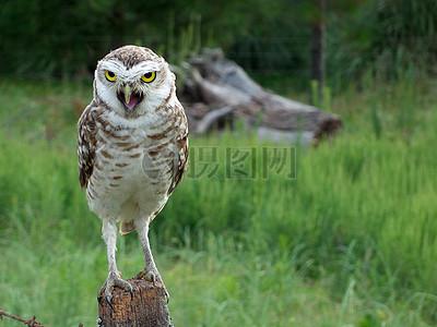 丛林中站在树桩的猫头鹰图片