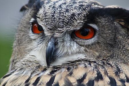 红眼睛的猫头鹰图片
