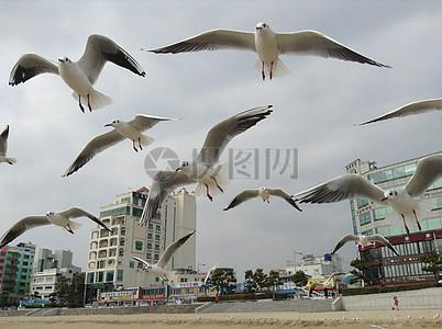 展翅翱翔的鸽子图片
