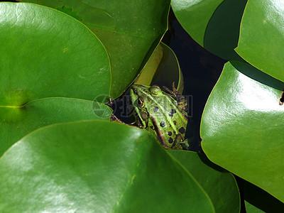 绿叶下的青蛙图片