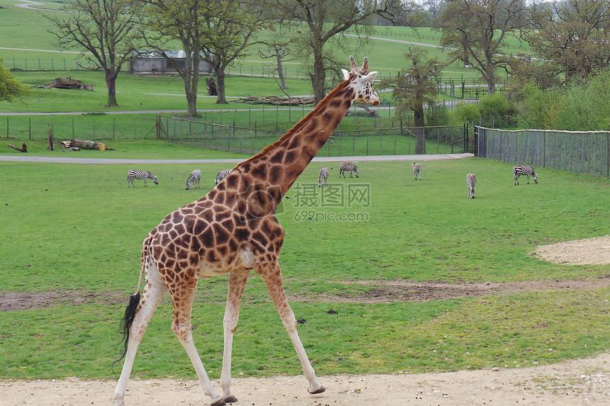 唯美图片 自然风景 长颈鹿jpg