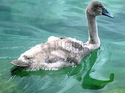 湖水里的大白鹅图片