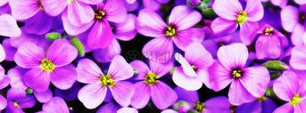 一片紫色的花海图片
