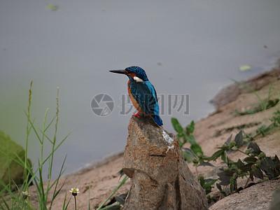 小蓝翠鸟图片