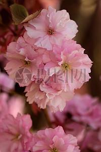开放的粉色鲜花图片