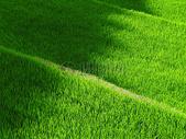 绿油油的水稻田图片
