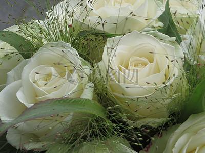白色玫瑰特写图片