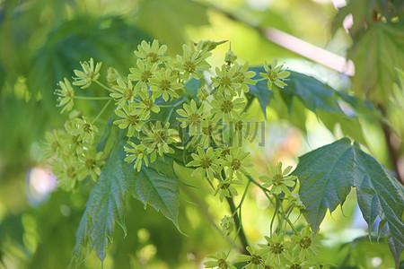 春天里的枫树高清图片