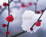 凌寒开放的梅花图片