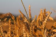 特写成熟的小麦图片