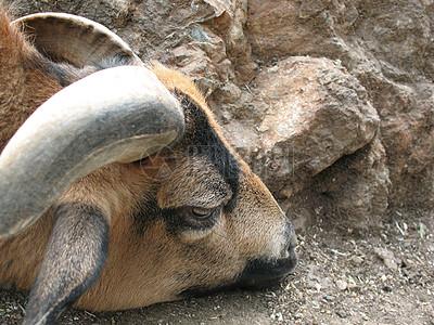在地上休息的黄牛图片