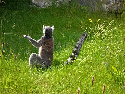 草丛里的环尾狐猴图片