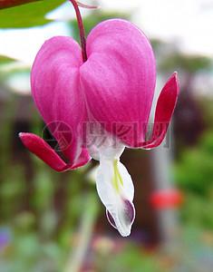 粉红色心形花图片