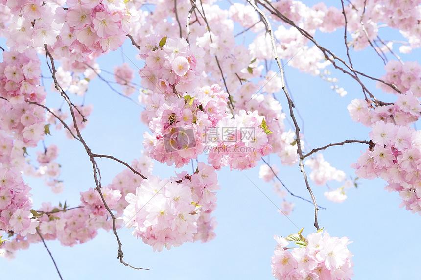 漂亮的日本樱花树图片