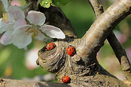 盛开的苹果花图片