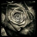 黑白色玫瑰花图片