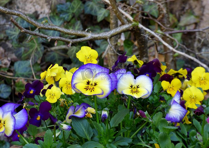 唯美图片 自然风景 紫罗兰jpg