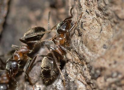 辛勤劳动中的蚂蚁图片