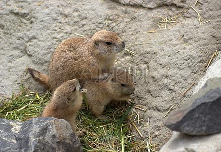 两只可爱的小地鼠图片