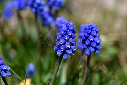 春天里的蓝花图片