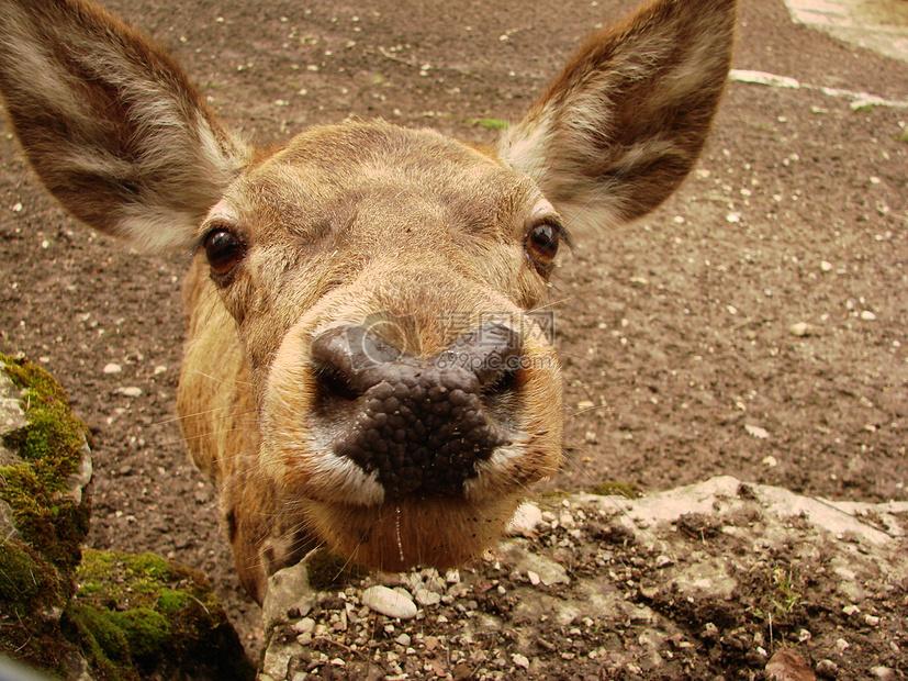 标签: 獐鹿可爱动物眼神耳朵呆