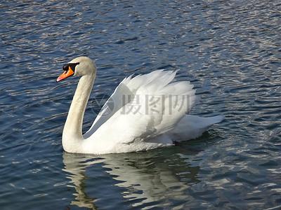 湖水中游荡的天鹅图片