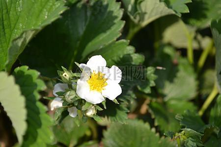 盛开的白色草莓花图片