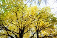 秋天的梧桐树图片