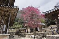 山村中的樱花图片