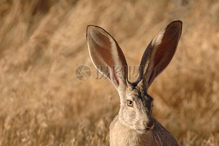 警惕的长耳大野兔图片