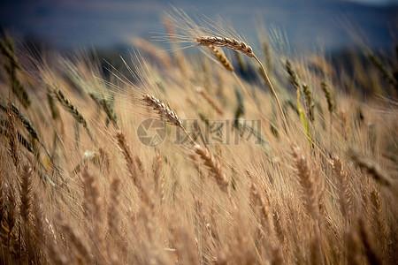 秋天金黄色的麦田地高清图片