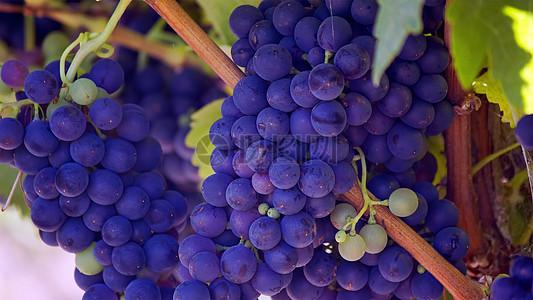 多汁紫色葡萄果图片