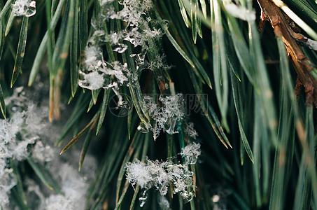 被雪冰冻的树叶图片