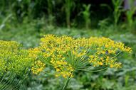 盛开的黄色花朵图片