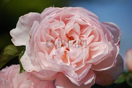 盛开的粉玫瑰图片