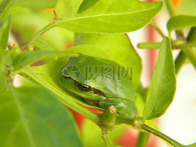 树叶上的青蛙图片
