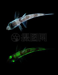 游行的荧光鱼图片