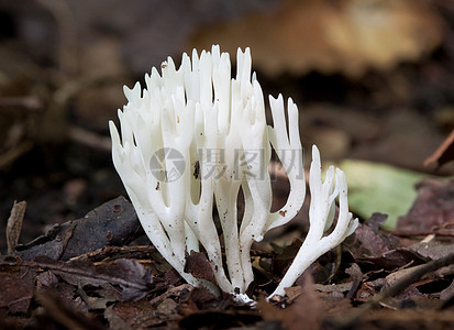 树林里的鸡油菌图片