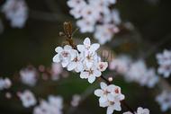盛开的白色樱花图片