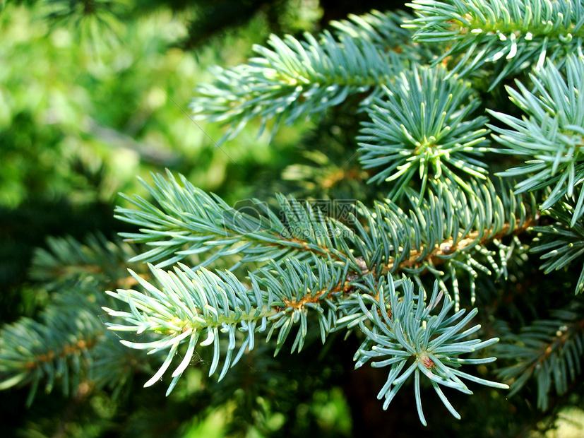 鲜艳的松树枝叶