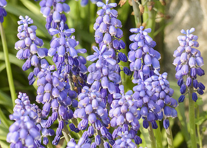 花园中的可爱蓝花图片