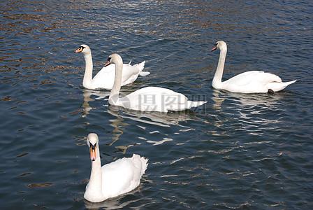 湖面上的大白鹅图片