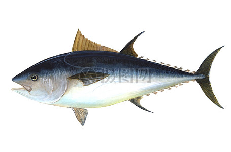 金枪鱼的特写图片
